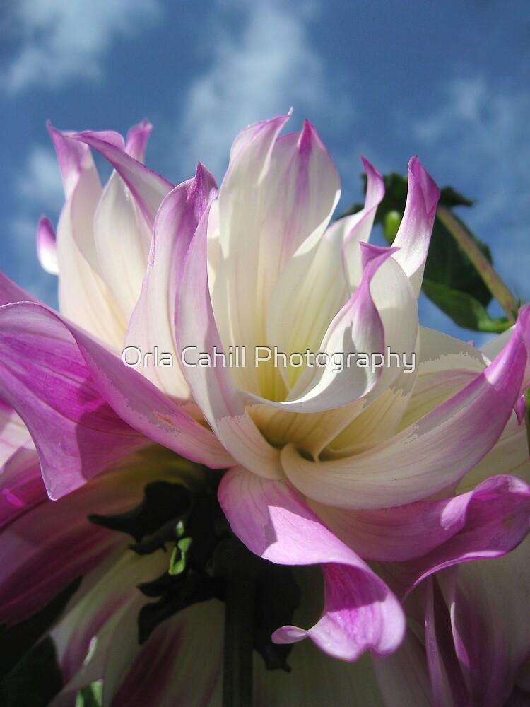 Dahlia Glory by Orla Cahill Photography