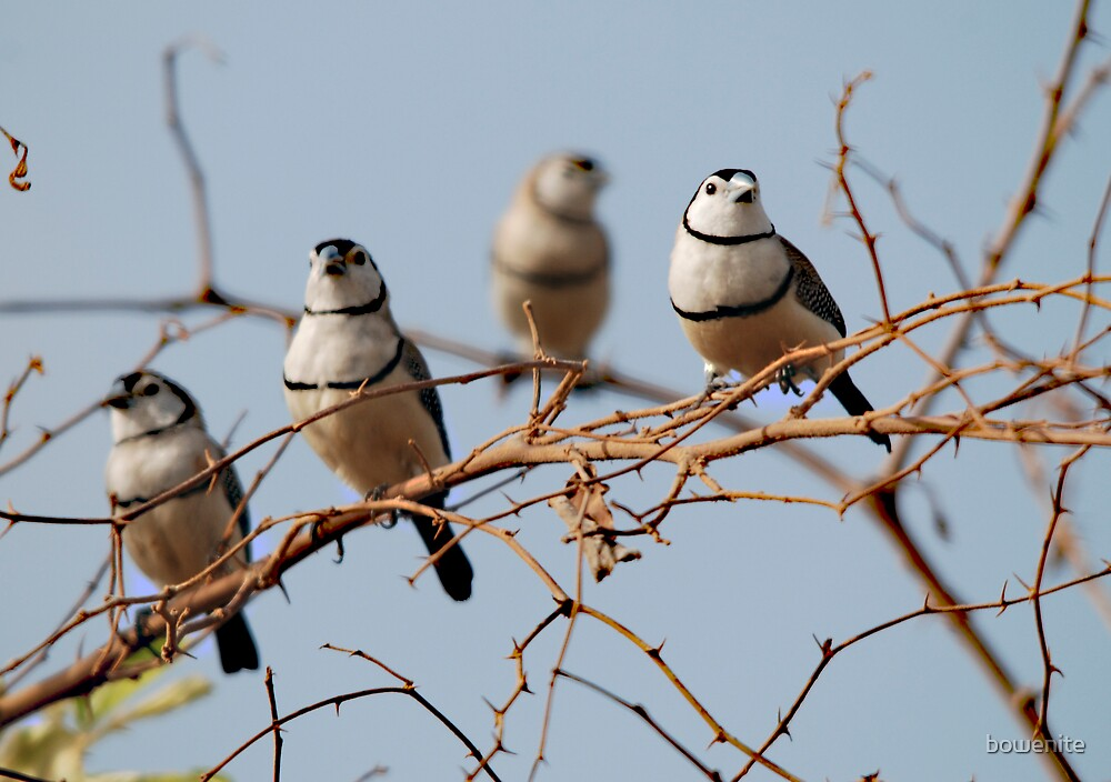 Double-barred Finches by bowenite