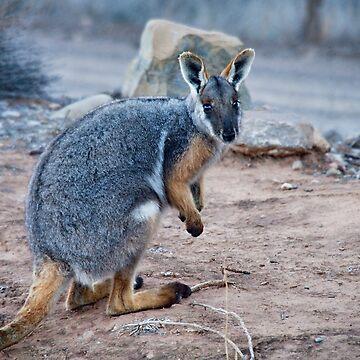 Yellow Footed Rock Wallaby by PaulaMcManus