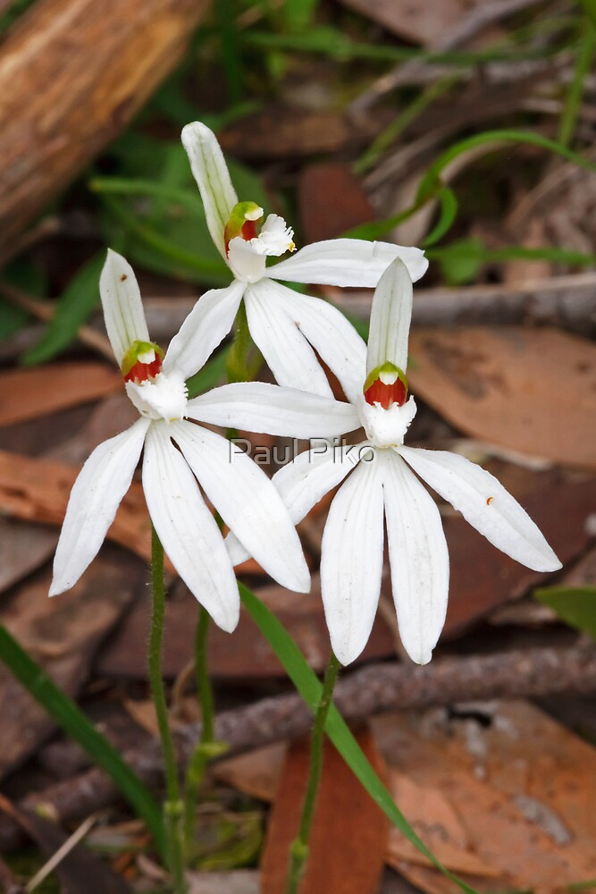 White Fingers - Petalochilus catenata by Paul Piko