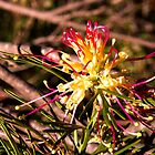 Red and gold grevillea by indiafrank