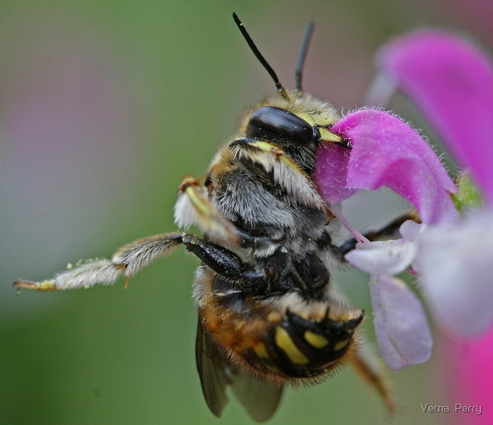 Leaf Cutter Bee by Verna  Perry