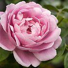 Rosa Schönheit von Vickie Burt