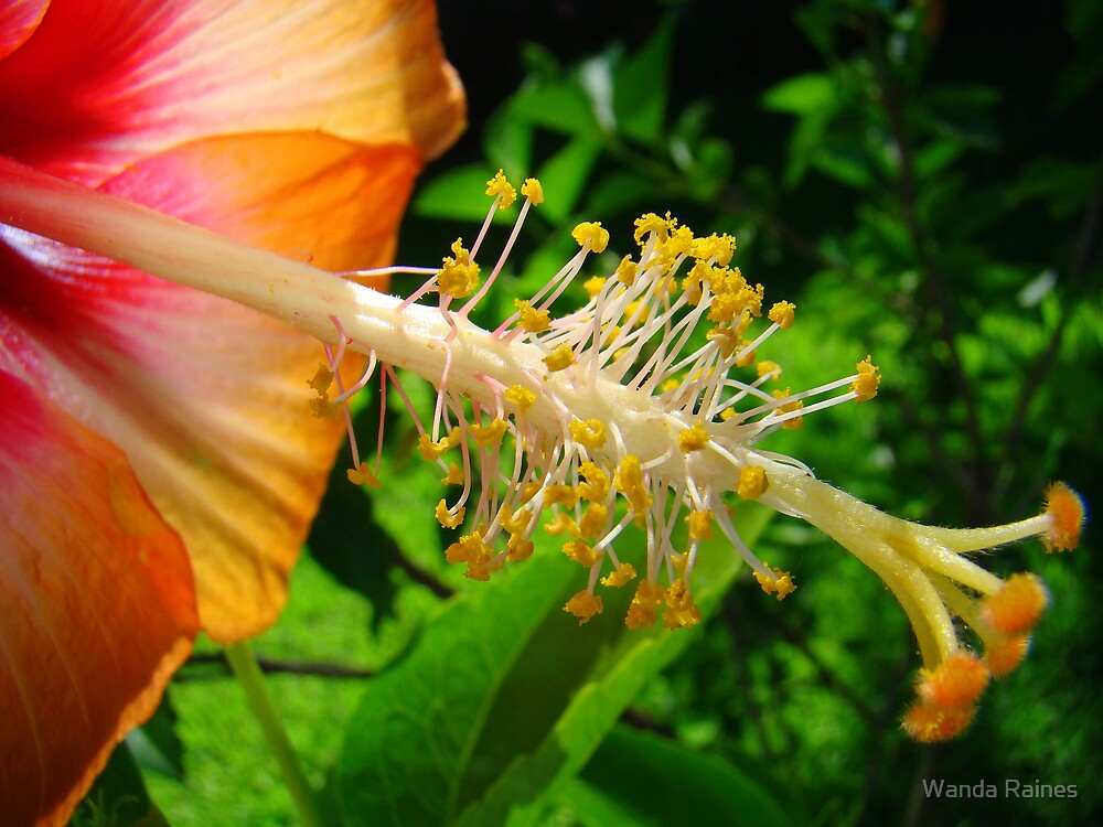 Natures Beauty  (Hibiscus) by Wanda Raines