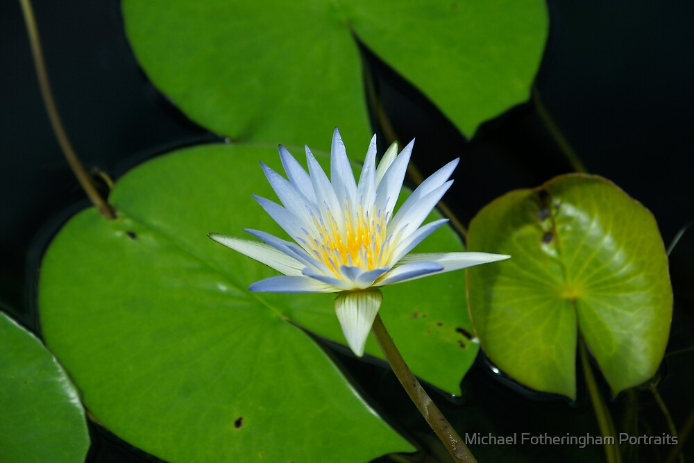 Waterlilly by Michael Fotheringham Portraits