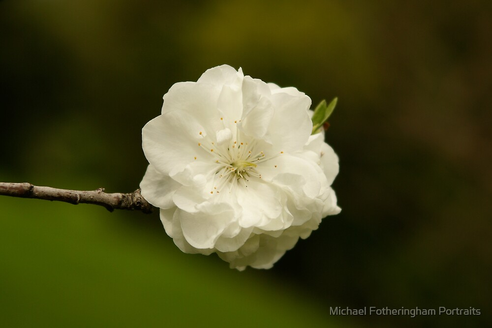 Blossom by Michael Fotheringham Portraits