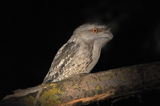 Funny looking possum, Tawny Frogmouth (Podargus strigoides) 2 by adamisalive