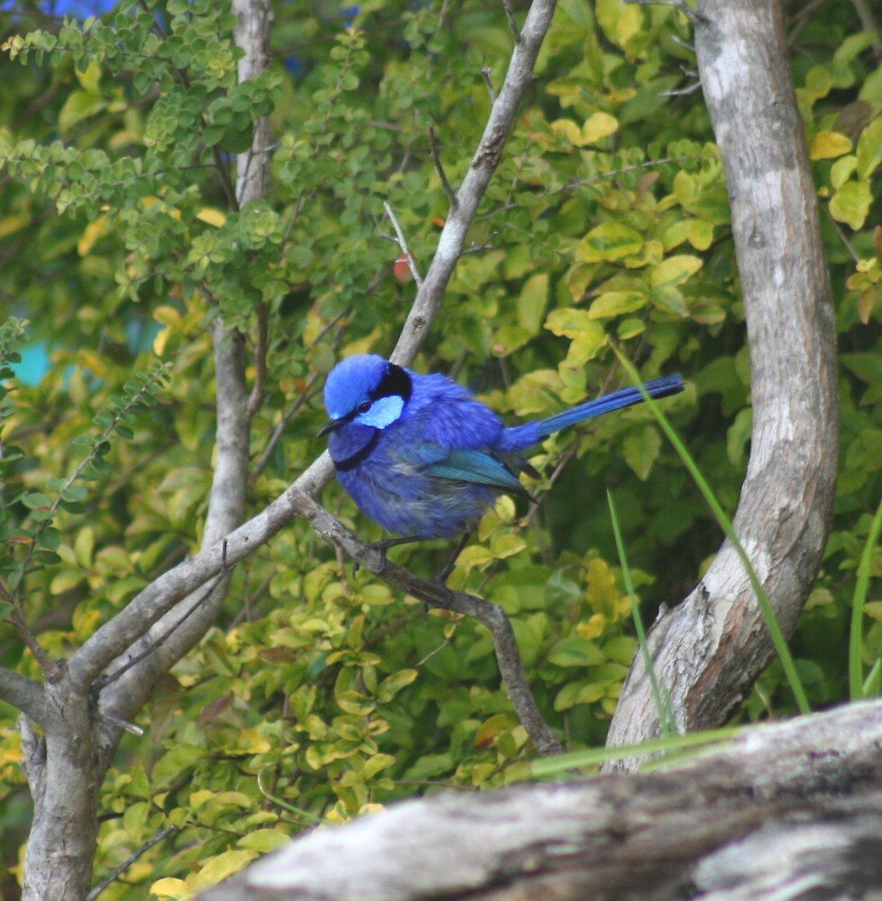 Blue Wren by Paula Bone