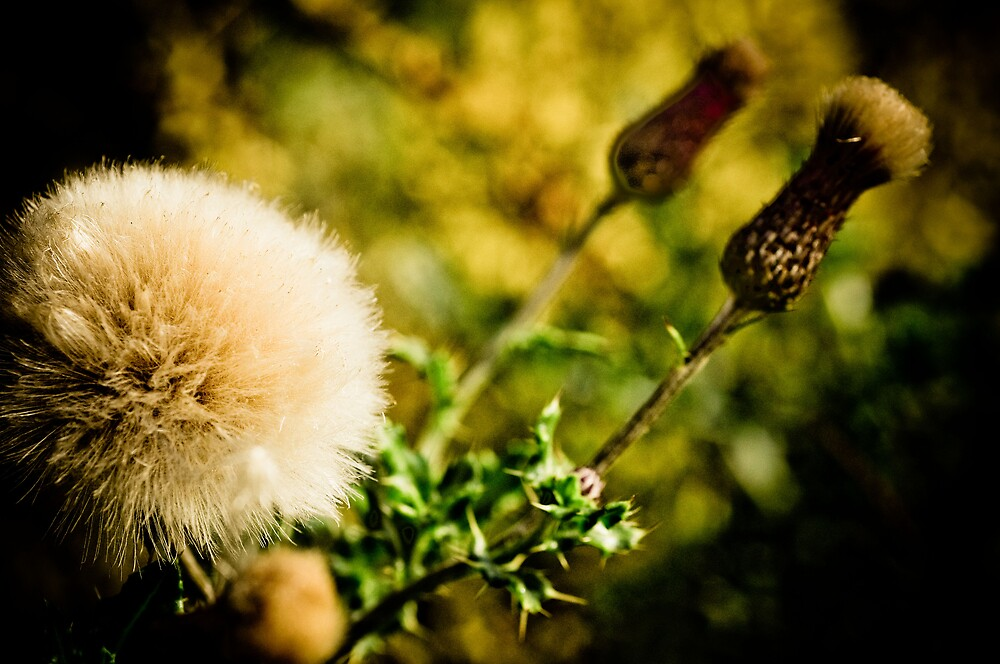Thistle by Pat Shawyer