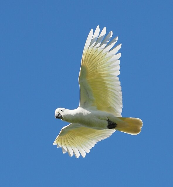 Cockatoo in flight by ozscottgeorge