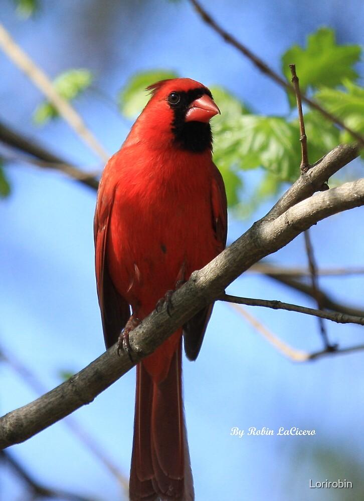 Red Cardinal by Lorirobin