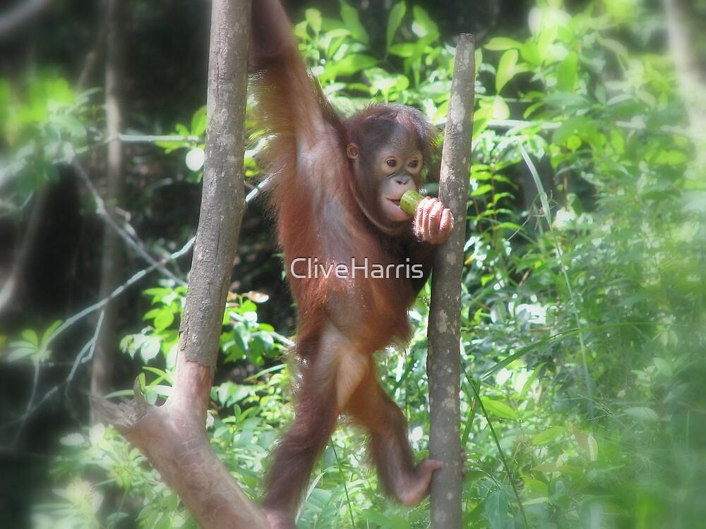 Borneo orangutang #1 by CliveHarris