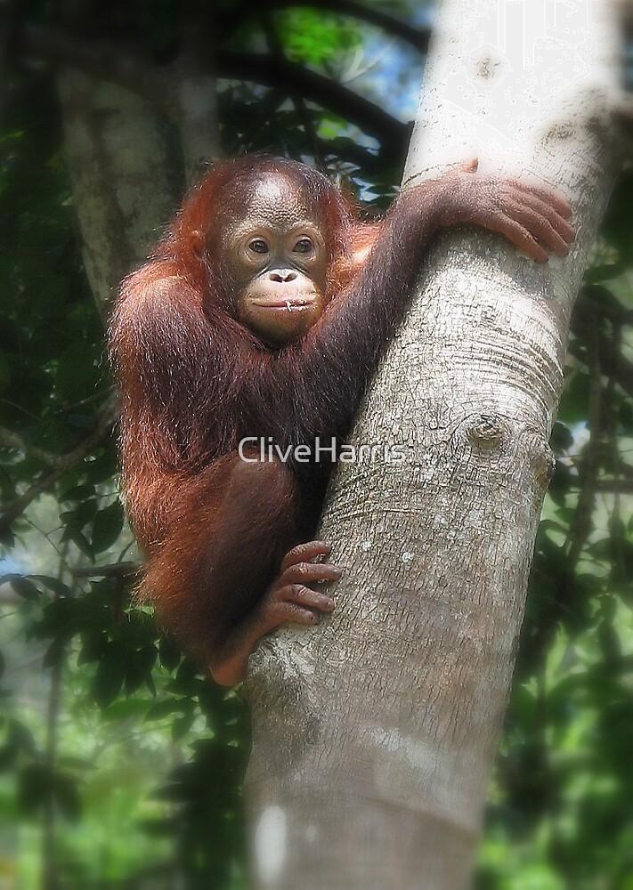 Borneo orangutang #2 by CliveHarris