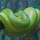 Green Tree Python, Queensland, Australia by Adrian Paul