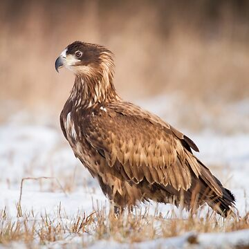 Young White Tailed Eagle by domcia