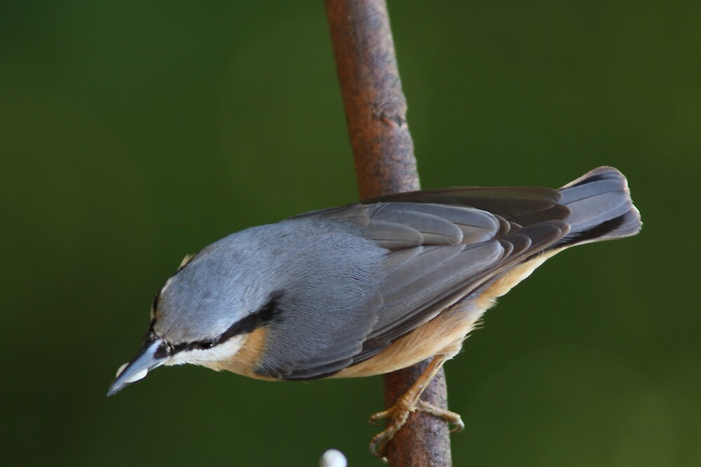 Nuthatch by Neil Ludford