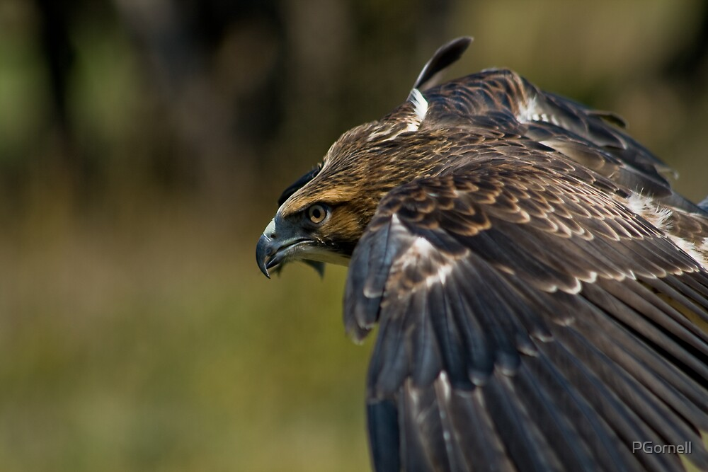 Swainson's Hawk by PGornell