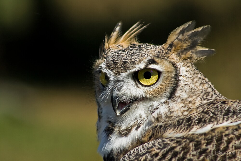 Great Horned Owl by PGornell