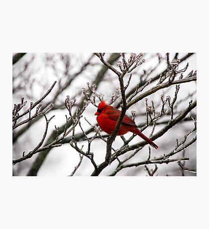 Winter Cardinal - Icy Tree Photographic Print