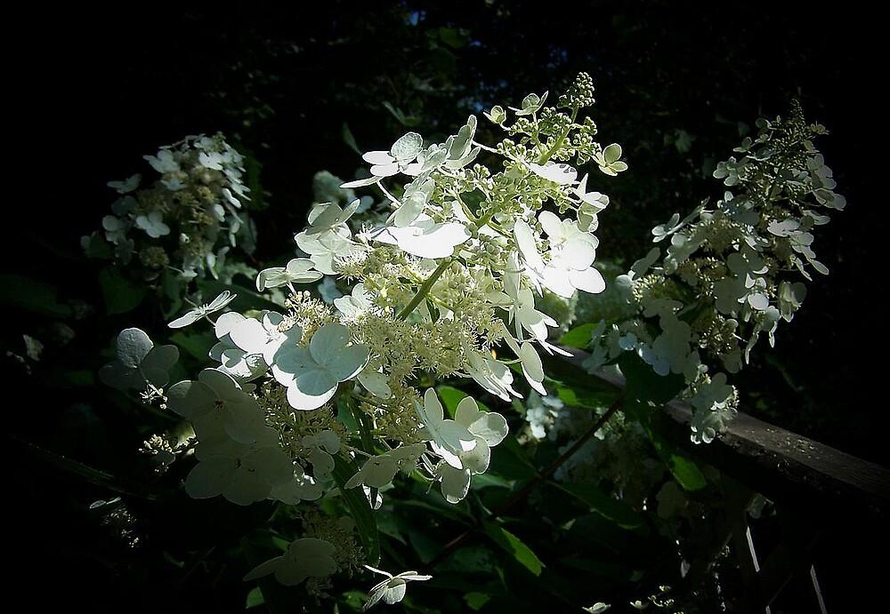 Hydrangea in the spot light by Yanira Greener