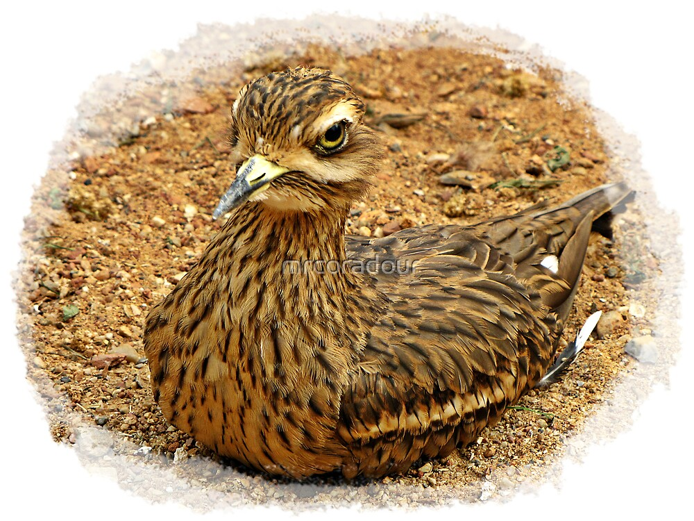 """"""" CAMOUFLAGE, spot the Stone Curlew"""" by Malcolm Chant"""