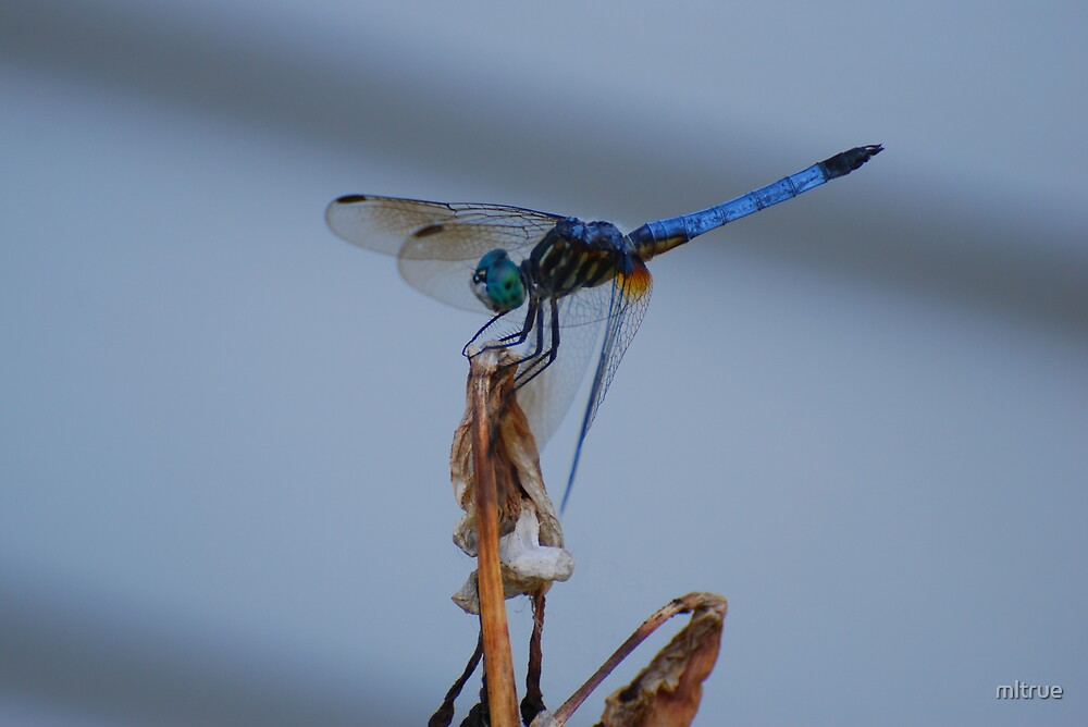Dragonfly Profile by mltrue