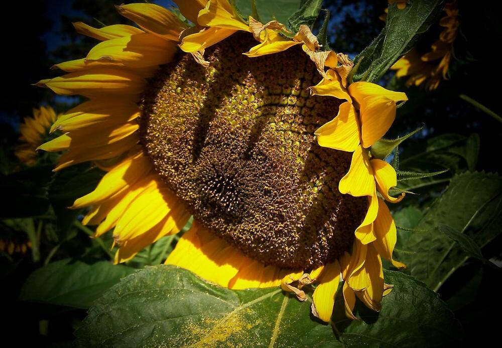 Sunflower in the spot light by Yanira Greener