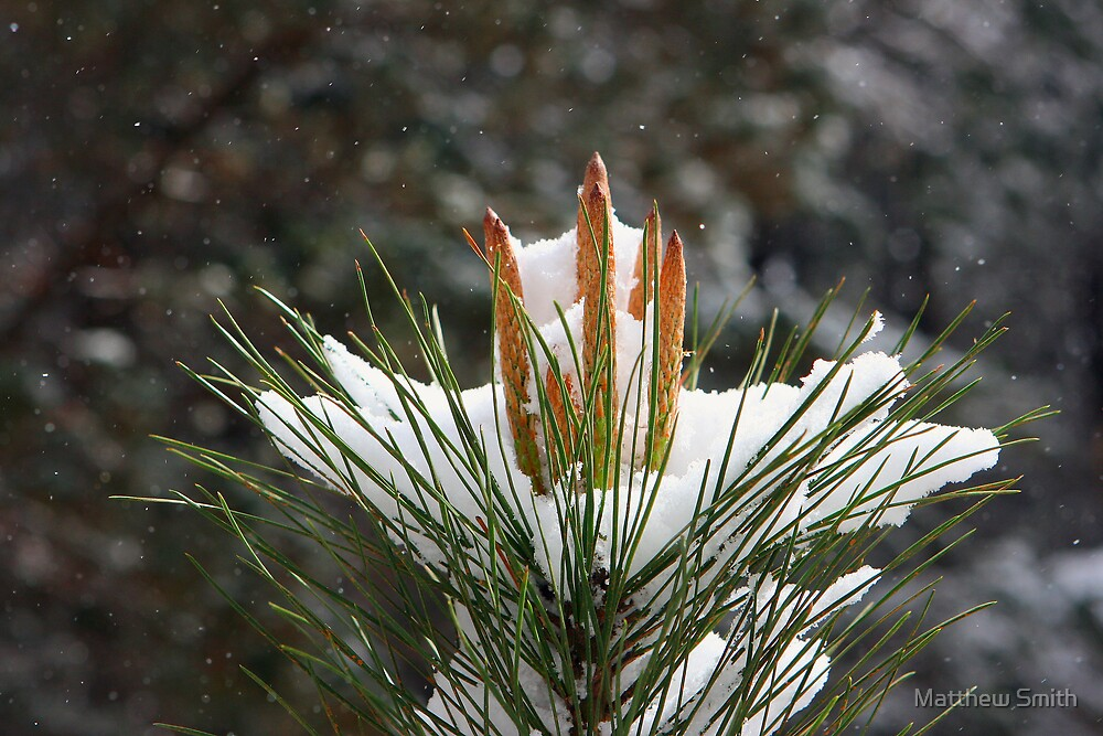 September snow in the pine plantations by Matthew Smith