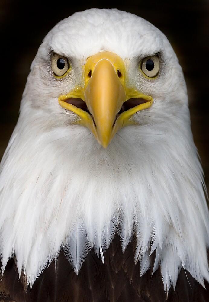 u0026quot sam the bald eagle  u0026quot  by carole stevens