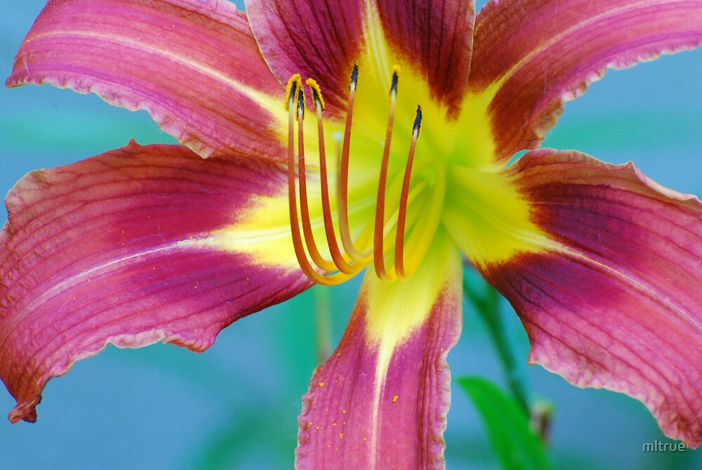 Red and Yellow Lily by mltrue