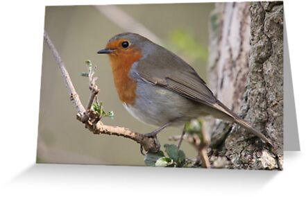 Spring Robin by Richard Durrant