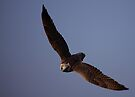 Gyrfalcon x Saker Falcon by Anne-Marie Bokslag