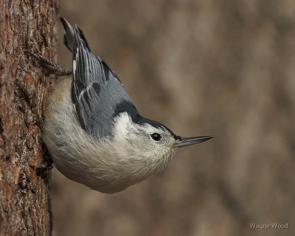 White-breasted Nuthatch by Wayne Wood