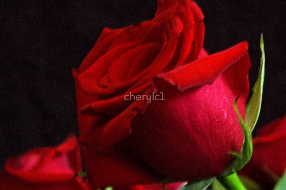Red Rose by cherylc1
