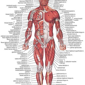Muscular System of the Human Body by Hoorahville