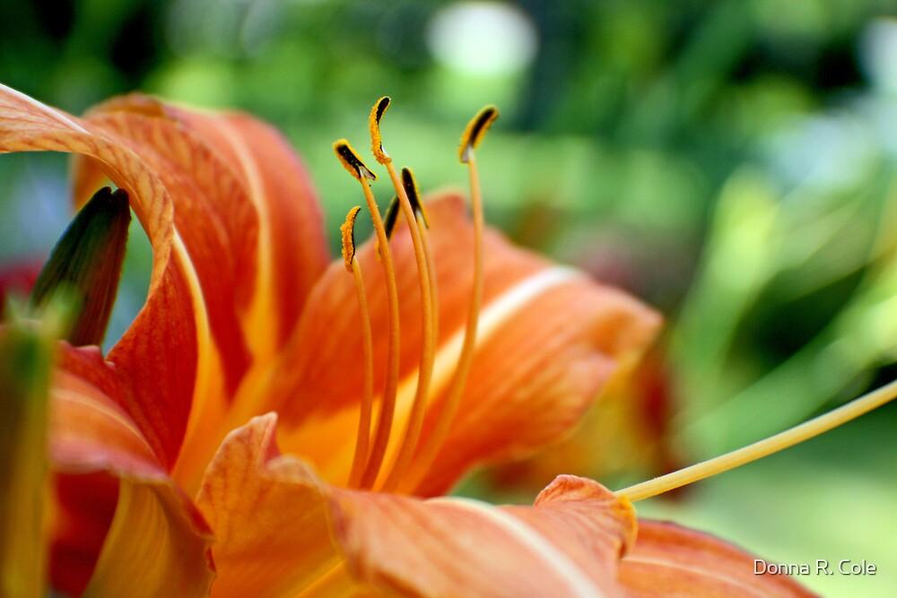 Orange Daylily by Donna R. Cole