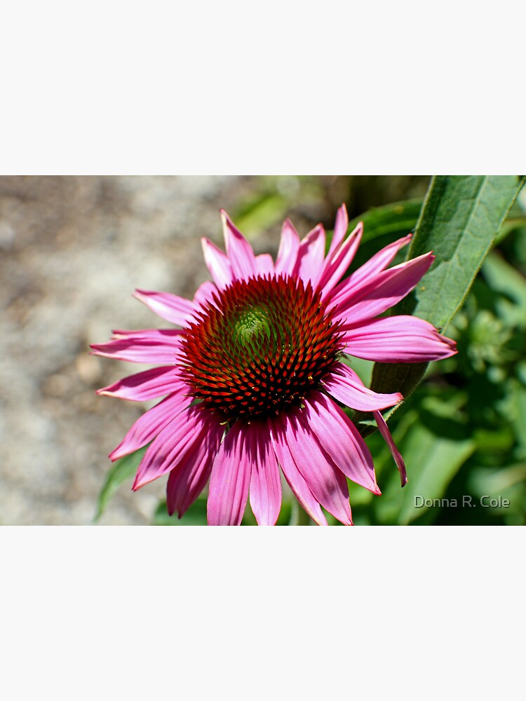 Echinacea in the Sun by alwaysdrc