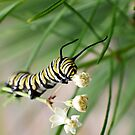 Monarch Caterpillar - 2 by Donna R. Cole