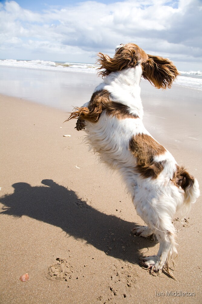 Springer Spaniel jumping on beach by Ian Middleton