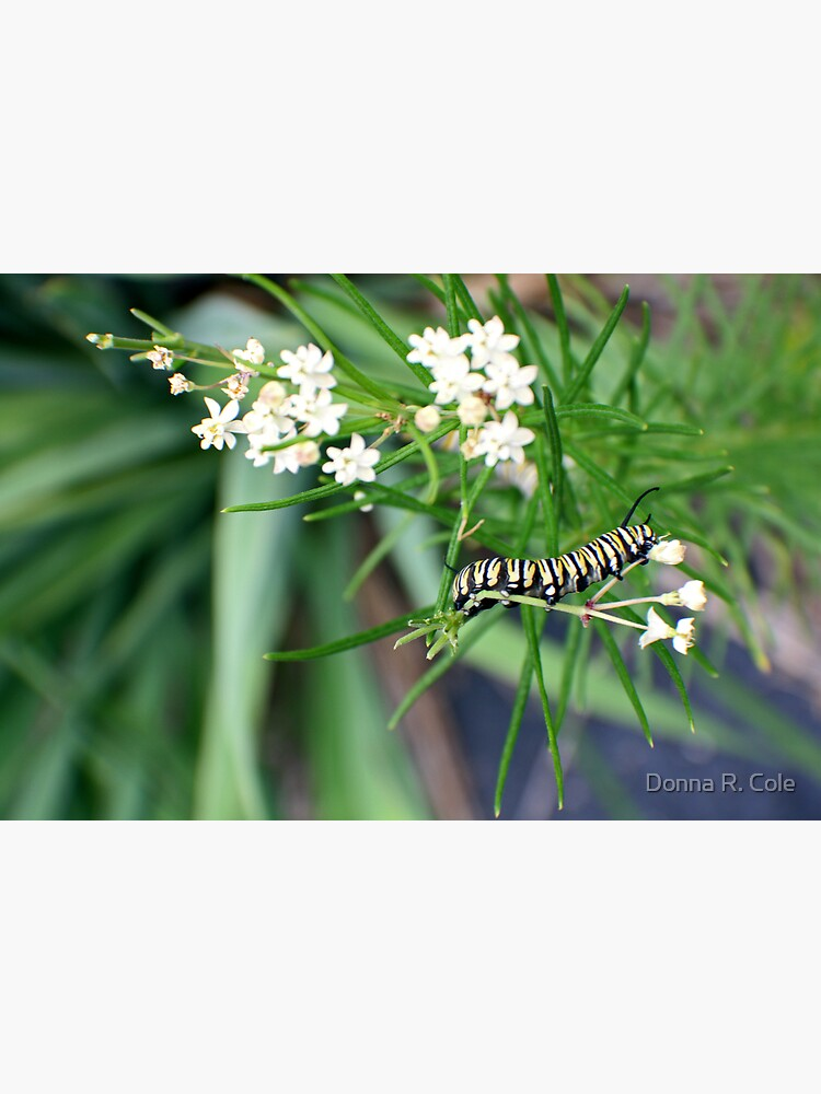 Monarch Caterpillar - 6 by alwaysdrc