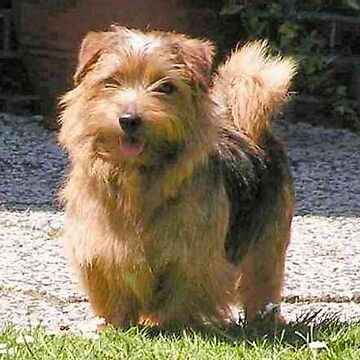 norfolk terrier full by marasdaughter