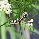 Monarch Caterpillar - 10 by Donna R. Cole