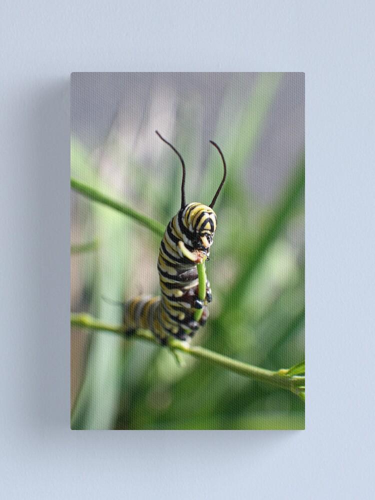 Alternate view of Monarch Caterpillar - 15 Canvas Print