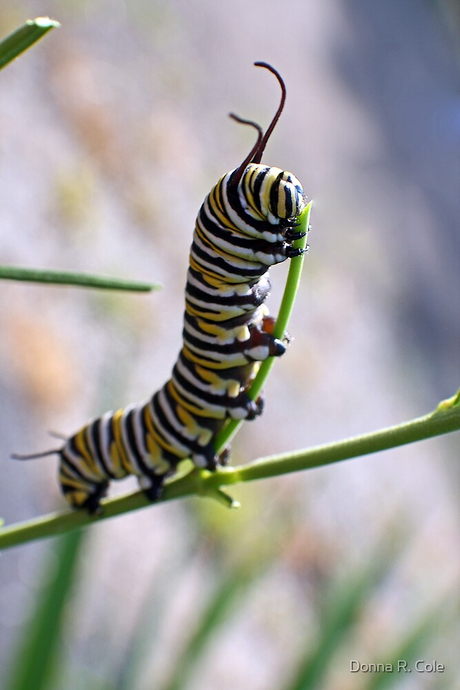 Monarch Caterpillar - 16 by Donna R. Cole