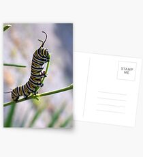 Monarch Caterpillar - 16 Postcards