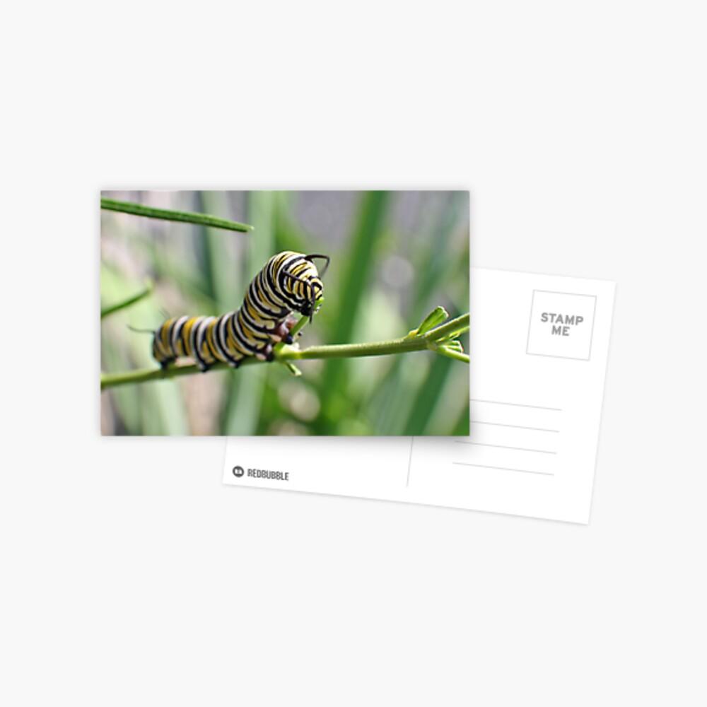 Monarch Caterpillar - 18 Postcard