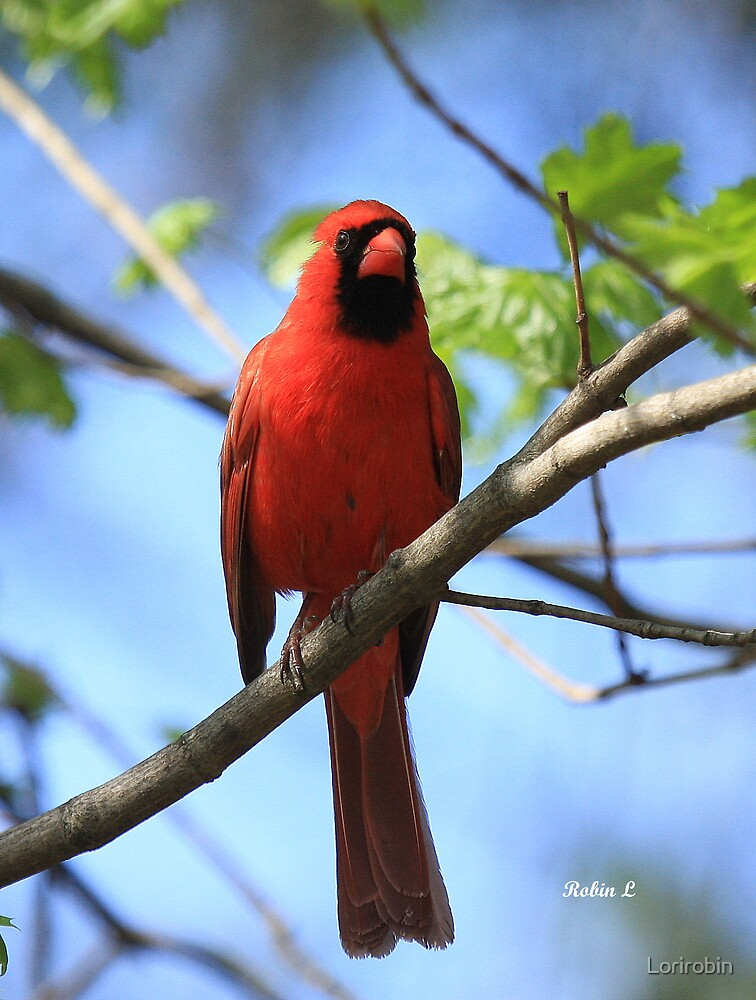 A very red cardinal by Lorirobin