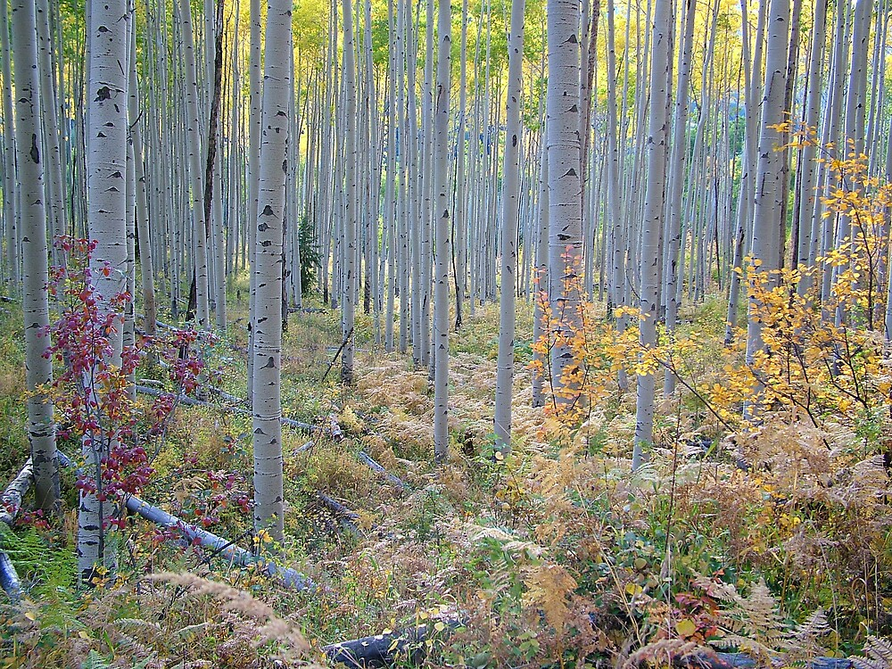 High Mountain Ferns in Aspen Grove by Robert W. Spath II