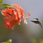 Hummingbird Likes A Hibiscus by Zina Stromberg