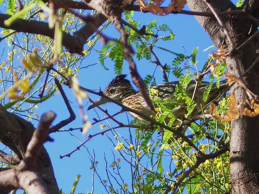 Roadrunner in Mesquite Tree by gcampbell